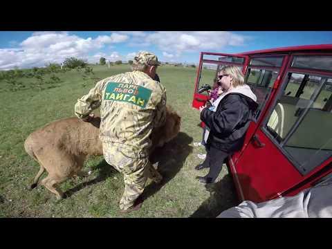 "Лев НЕ напал на посетителей парка львов ""Тайган"""