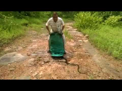 El video que muestra qué sucede cuando un hombre suelta 285 serpientes en un bosque