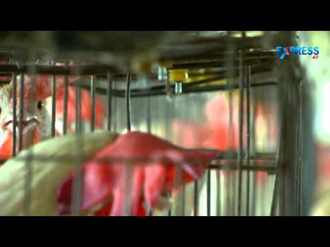 Exclusive Program On Molting Of Hens - Paadi Pantalu