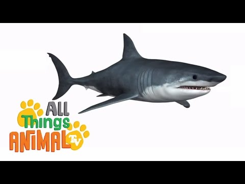 SHARKS: Animal videos for children and kids. Preschool | Kindergarten learning