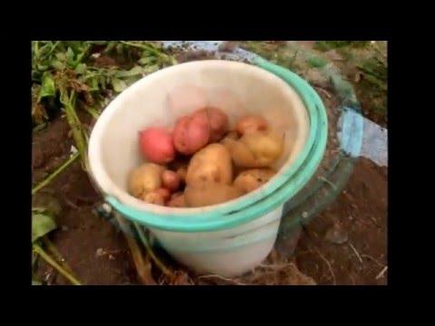 Огород без хлопот.  Собираем урожай.  Картофель из глазков (очисток).