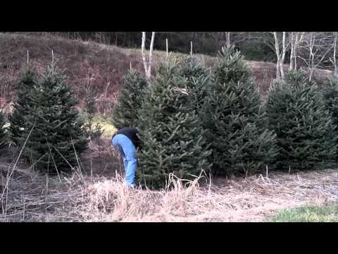 stuart family christmas tree being cut 2011