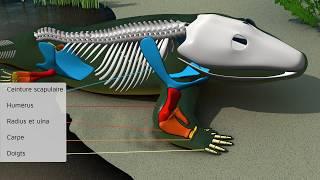 Paléontologie Evolution. Le squelette humain, du poisson à la bipédie. La sortie de l'eau.