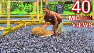 Hybrid Magur Fish Farming Business in India -Part2  | হাইব্রিড মাগুর চাষ | Catfish Farming