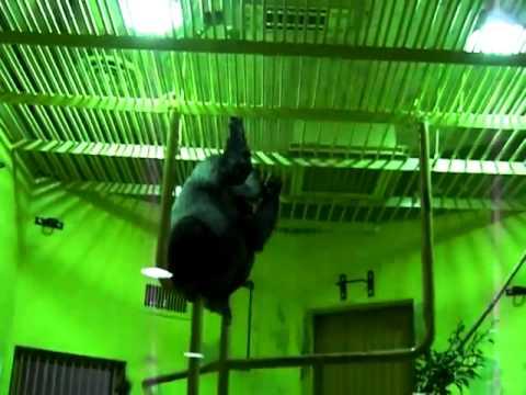 京都市動物園 ニシゴリラ「モモタロウ」