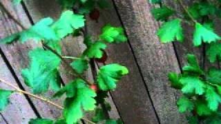 Gardening Journal Pjm - Video 3 Roses, Wisteria, Mint.avi