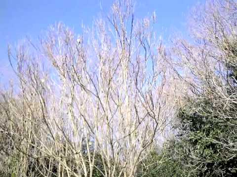 PARROTS FLOCK-SANT CUGAT-BARCELONA-CATALONIA-SPAIN-WINTER SEASON.