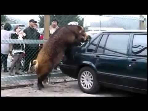 Wild Boar Really Loves Volvo