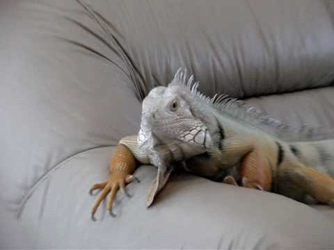 Iguana on couch Video