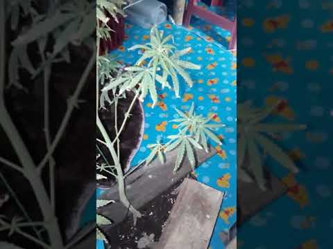 ต้นกัญชาช่วงทำดอก1สัปดาห์แรก