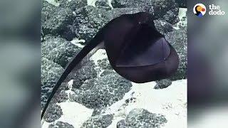 Rarely Seen Sea Creature Puffs Up Like A Big Balloon | The Dodo