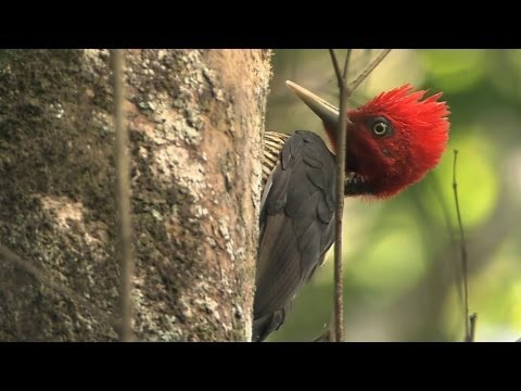 Talking with a Pale-billed Woodpecker