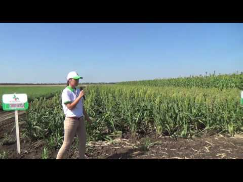 Культура Сорго: полевая демонстрация на Дне поля-2016 Краснодарского края