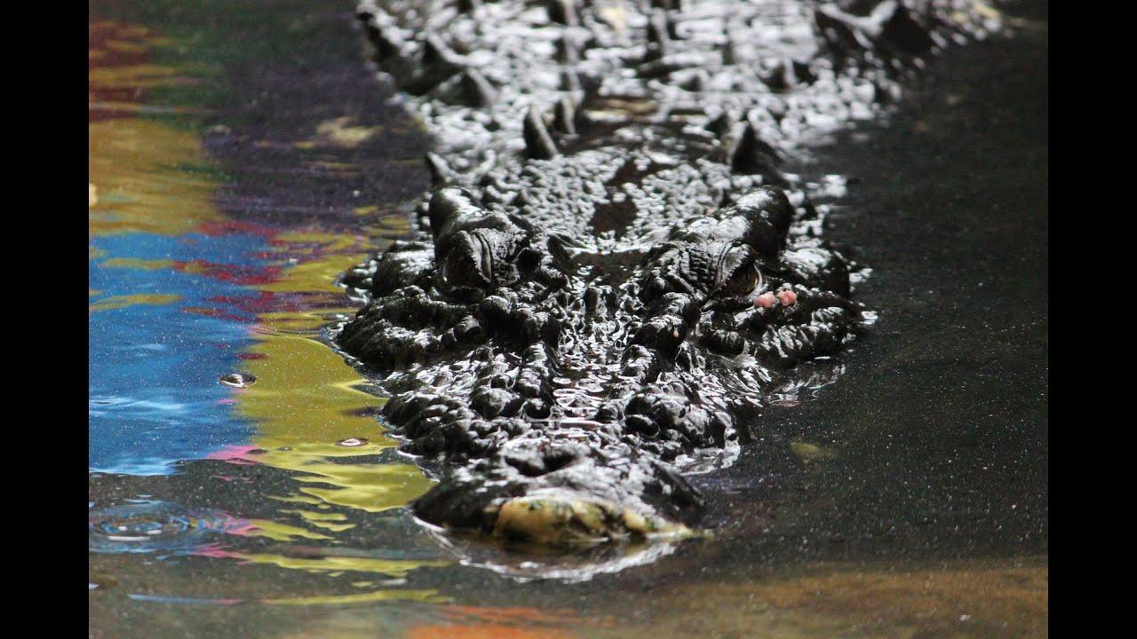 Cassius crocodile