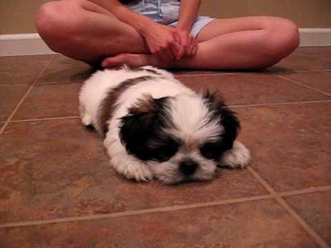 cute shih tzu puppy mini cooper barks youtube