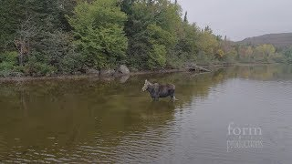 Moose vs. Wolf in the Backcountry of Ontario, Canada (Video)