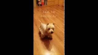White Terrier Westie DOLAR 10 looking for