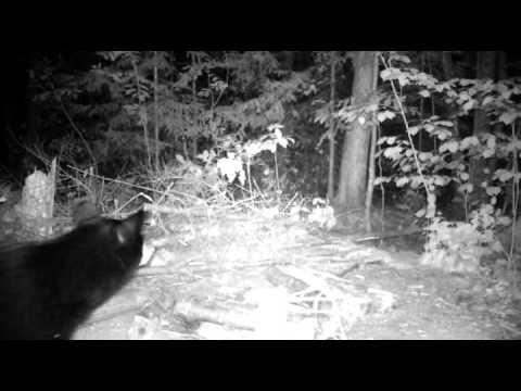Bear scent checking before eating.