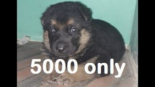 5000 rs gsd puppy.. HURRY UP!!