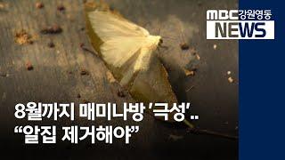 "R)8월까지 매미나방 '극성'..""알집 제거해야"""