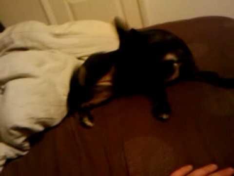 Millie Jackhuahua Jack Russellchihuahua Cross - Pets Next Door