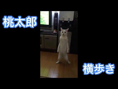 立って横歩きする猫