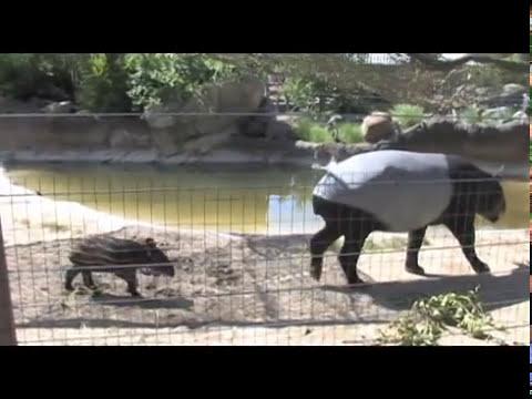 Denver Zoo Malayan tapir Baku explores yard