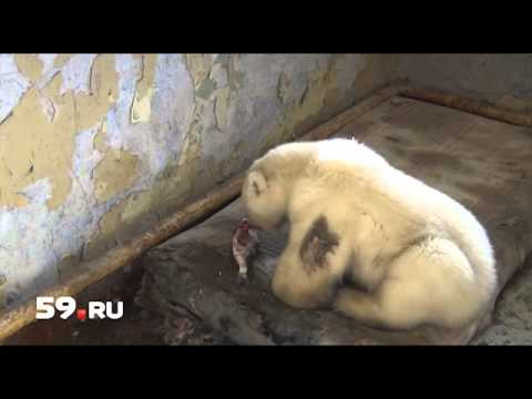 Как спасли белого медвежонка