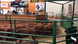 Lighter calves selling