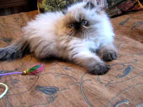 Gatitos Persas Himalayos en venta en Bogota-www.gato-persa.com MVI ...