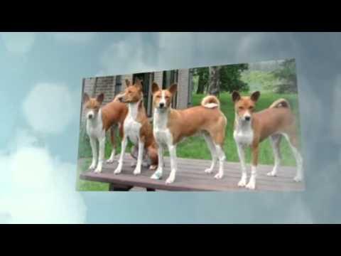 Congo Dog Behavior