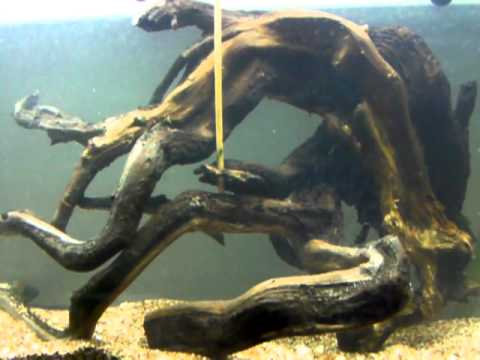 Image Result For Is Driftwood Good For Aquarium