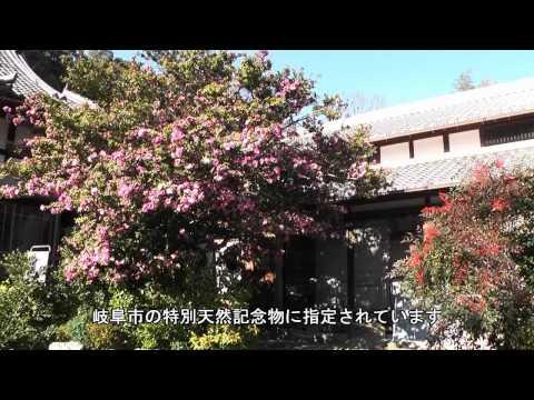 岐阜市 「真聖寺」 ~山茶花(さざんか)~