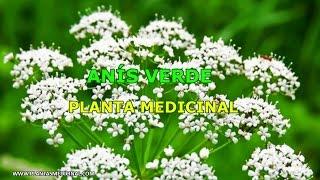 Anís Verde - Propiedades y Beneficios
