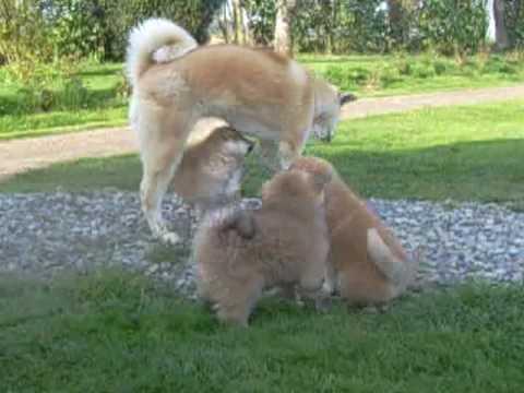 Akita Inu: Taras puppies play in the garden, 47 days old (18/04/2010 O Chanur Kennel)