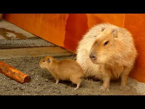 市川市動植物園にカピバラの赤ちゃんが登場 (baby capybara)