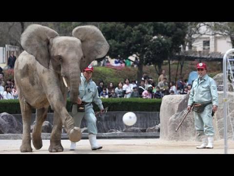 ゾウと小学生がPK戦「思ったより速くてびっくり」