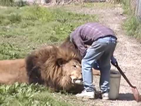 Lion Attack Friendly, Powerful, Dangerous