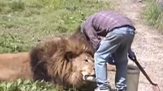 Lion Attack   Friendly, Powerful, Dangerous