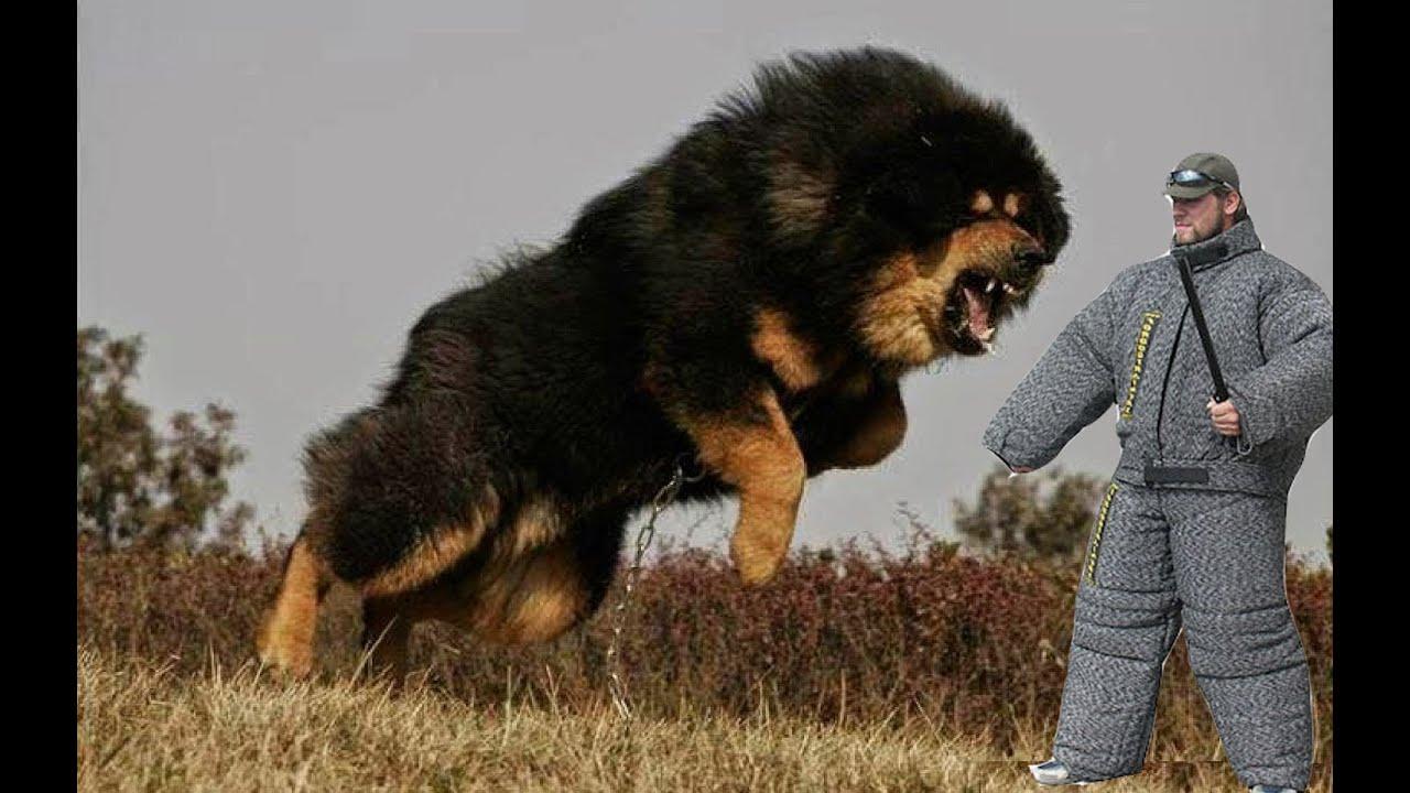 Bear dog  Wikipedia