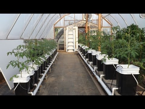 Hydroponic Update   Dutch Bucket Tomatoes And Kratky Lettuce