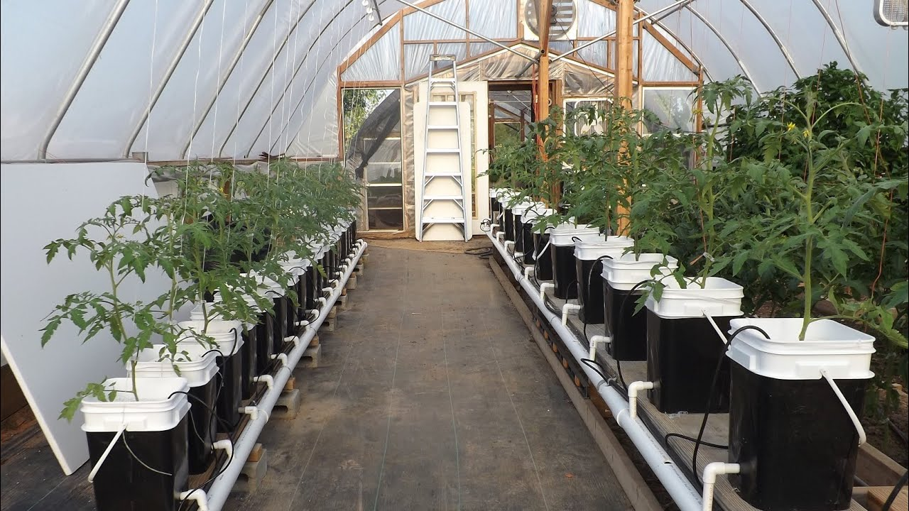 Hydroponic Update Dutch Bucket Tomatoes And Kratky