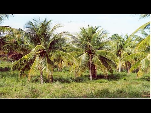 Curso Cultivo Org�nico de Coco