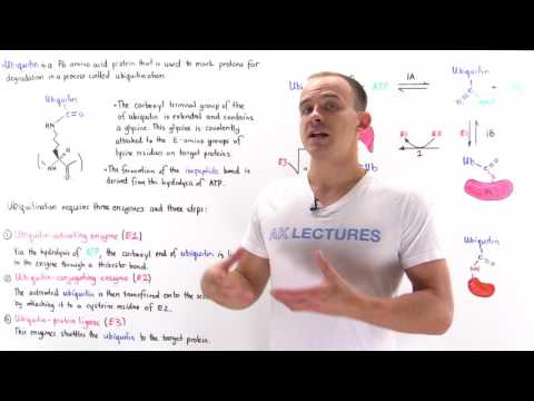 Ubiquitination of Proteins