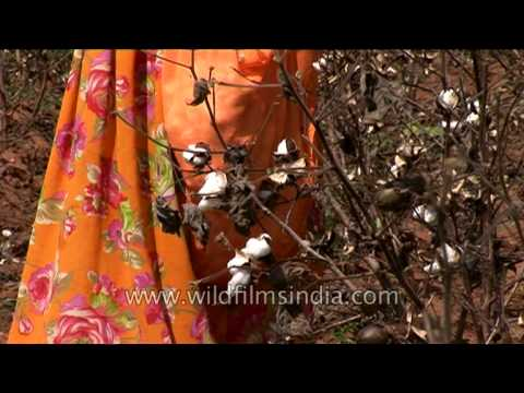 Cotton cash crop farming in Rajasthan