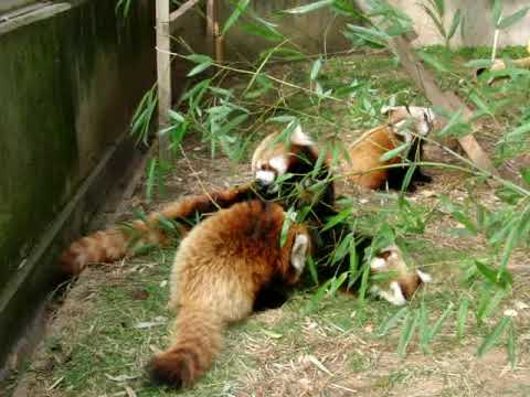 レッサーパンダの日常 茶臼山動物園 セイナと三つ仔たち