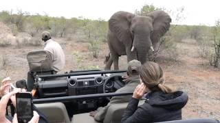 Huge elephant walks right up to vehicle