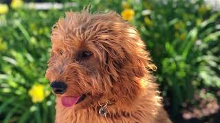 Doylestown Dog Trainers ||| OLK9 Lehigh Valley ||| 5 Month Mini Golden Doodle, Mollie