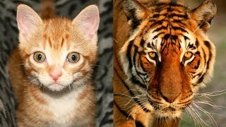 House Cats/Tigers - Similarities between Domestic & Wild?
