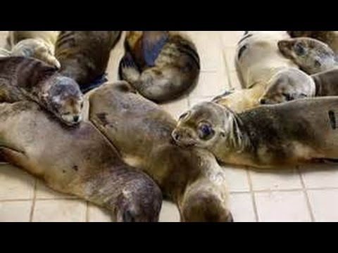 "Fukushima Update -The largest mass die offs of Sea Life ever recorded"" now underway on West Coast"
